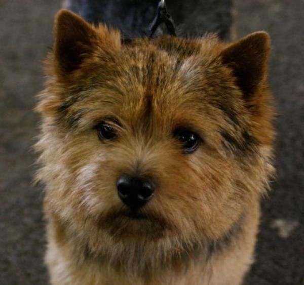 Front-view photograph of a Norwich Terrier dog.