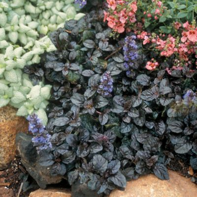 10 Ajuga reptans Mahogany - Ground Cover - Ten Live Fully Rooted Perennial Plants by Hope Springs Nursery - Bugleweed $29.70
