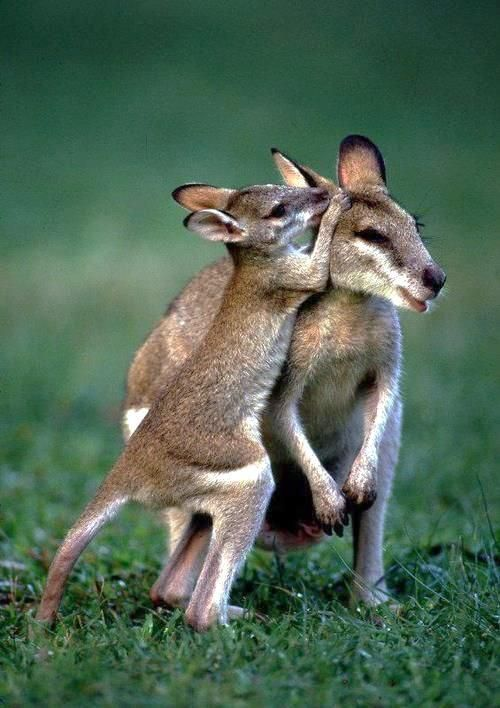 Kangaroo mom and baby | mothers and babies | | wild life | #animals #
