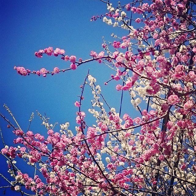 春と言えば「桜」と言われがち。でも、桜よりも早く、小さく可憐に、私たちに春の訪れを知らせてくれる存在がいることを忘れてはいませんか?「梅」です。でも、梅の名所ってあまり思いつきませんよね。そこで今回は、週末に思い立ったらすぐ散歩に出られる、都内の梅の名所TOP4をご紹介。週末、小さな春を見つけに散歩に出てみては?