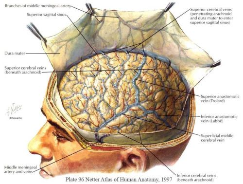 Reflection of the dura mater from 'Netter Atlas of Human...