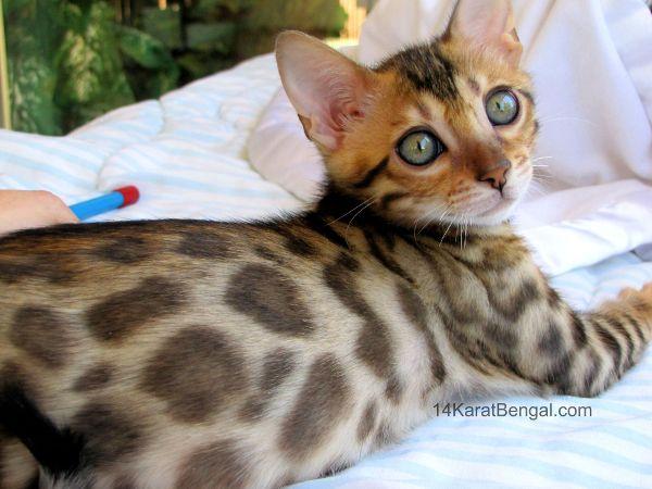 14Karat Bengal To Quality Kitten Bengal Kittens For Sale in AZ
