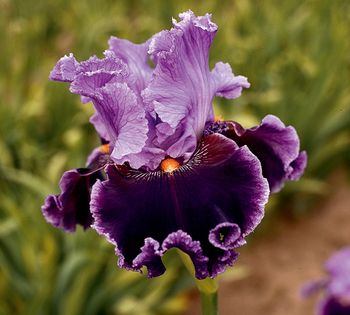 """About Town,"" a popular lavender and deep purple bearded iris with hints of maroon at the base of the falls, with bright tangerine beards.  Schreiner's Iris Gardens."