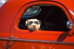 """Dogs love to be with their pals and most pooches love to go on a """"car ride"""". Just the sheer mention of those two words together evokes an enthusiastic,...  www.squidoo.com/dogcartravel"""