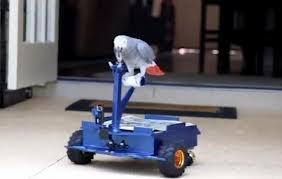 Um papagaio cinza Africano aprendeu a dirigir o seu próprio robô, enquanto vagueia em torno da casa de seu dono.