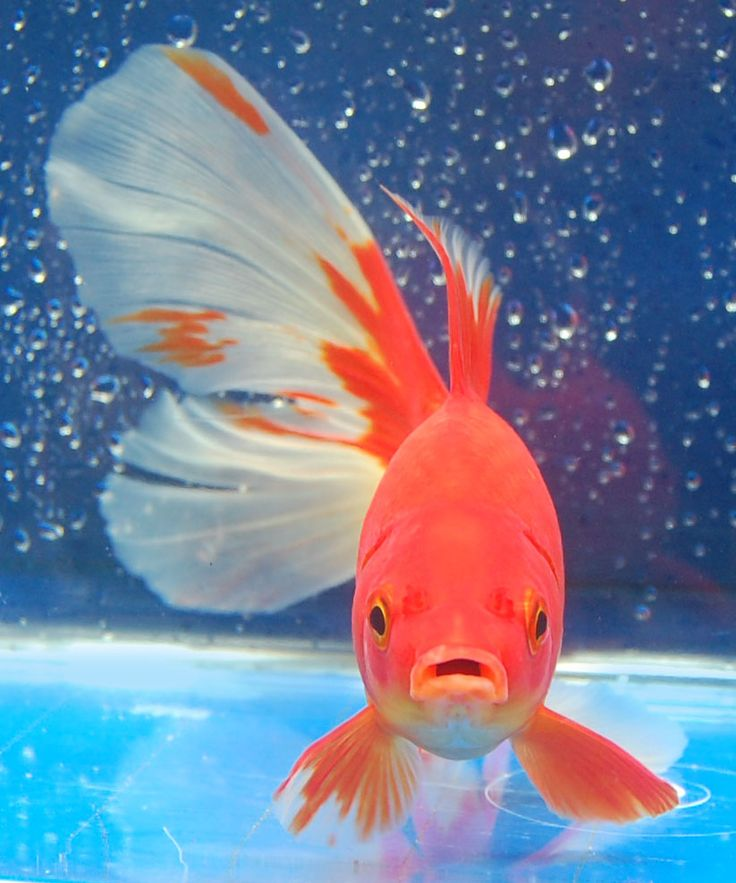 17 best images about love gold fish on pinterest auction for Best pond fish