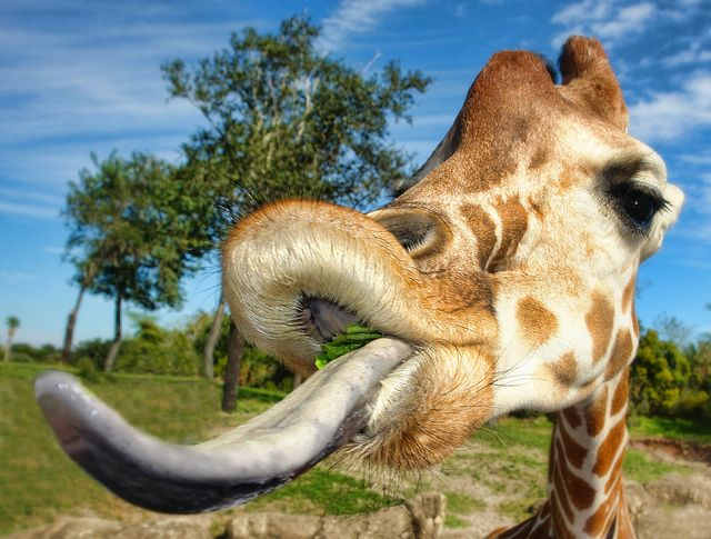 GIRAFFE TONGUE | Flickr - Photo Sharing!