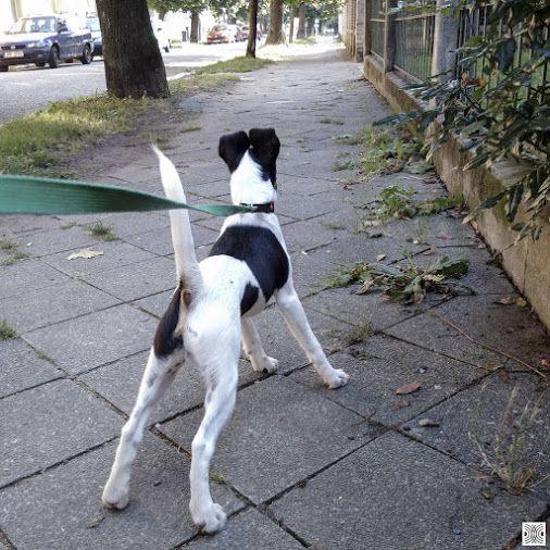 10.9.2016 - day 107  - morning walk around the block  Blackberry Passport  www.pavelvrzala.com  #SmoothFoxTerrier #puppy #little #dog #walk #street #sidewalk #pavement #fence #Blackberry #Passport