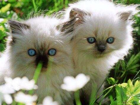 Two White Persian Kittens, Sweden