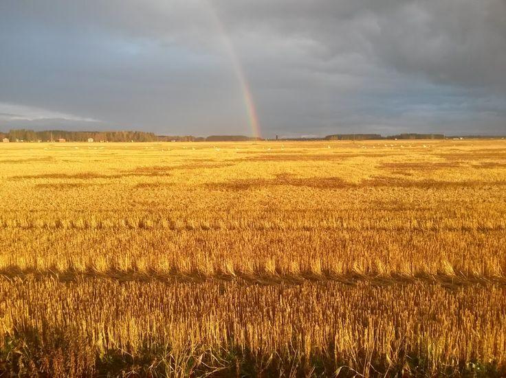 Sungilded field