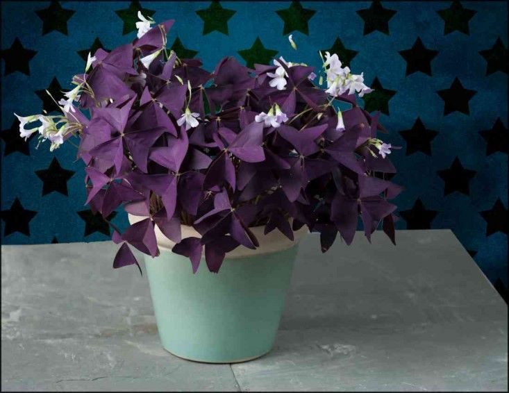 easy houseplants | Allison Koll at Gunn Landscape Architecture recommends oxalis triangularis, or purple shamrock.