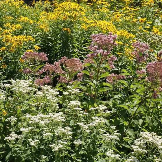 Wet Meadow Wildflower Seed Mix Wildflower seeds, Wild
