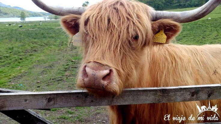 Cómo no enamorarse de las #vacas #lanudas #escocesas? #Edimburgo  #Escocia #Highlands #Scotland #Edinburgh #TierrasAltas #UnitedKingdom #ReinoUnido #Cow #Scottish