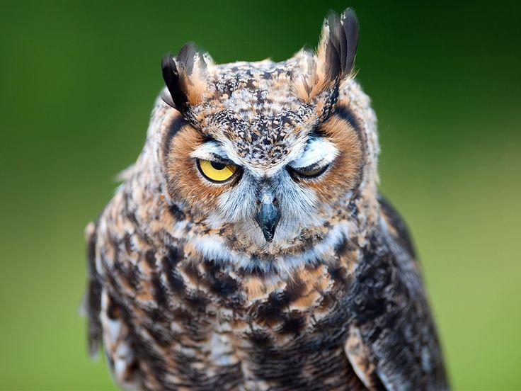 Owl portrait wallpaper 1024x768