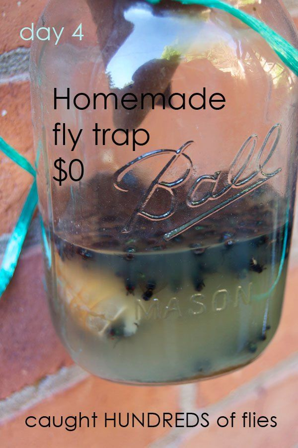 fly-trap-testing-3 ... sure think using a plastic liter bottle would work better and safer than glass mason jar...