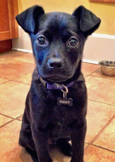 Teddy the Australian Shepherd/French Bulldog  Mixed Breed