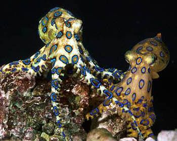 Of mushrooms and women it is said, the most beautiful are the most dangerous. That saying might as well go with octopuses, as blue ringed octopuses are among the most beautiful and colourful octopus species.