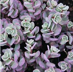 Sedum - Cauticola  Mature Height  	3 to 5 inches  Mature Spread  	12 to 16 inches  Soil Type  	Widely Adaptable  Moisture  	Widely Adaptable  Mature Form  	Spreading  Growth Rate  	Moderate  Sun Exposure  	Full Sun  Flower Color  	Pink  Fall Color  	Burgundy/Blue  Foliage Color  	Blue  Zones  	4-9  From Nature Hills Nursery
