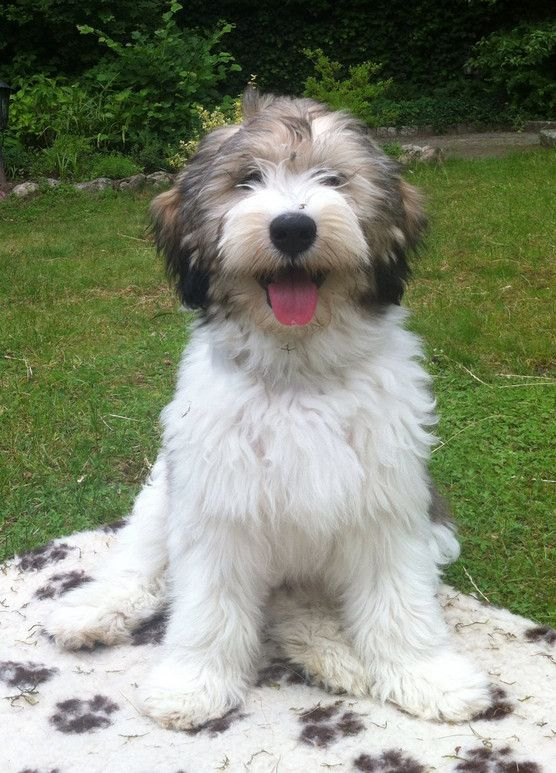 Polish Lowland Sheepdog puppies, PON PUPPY BUYERS GUIDE Featured PON PUPPY Album
