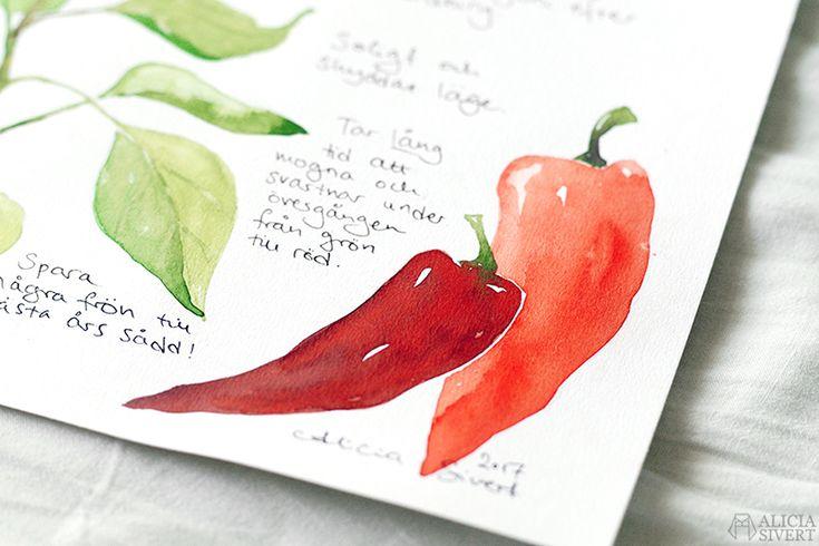 Skötselråd paprika, illustration av Alicia Sivertsson. / Sweet pepper, illustration by Alicia Sivertsson.