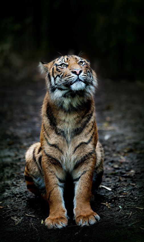 Tiger by Art X on 500px