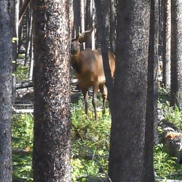 Scouting tip: Keep the wind in your face, slow down and go where the elk are. #elk #elkhunting #scoutingforelk #bowhunting #archery #archeryelk #otcpublicland #colorado #hunt #hunting http://misstagram.com/ipost/1552898361250487166/?code=BWNANT6nxt-