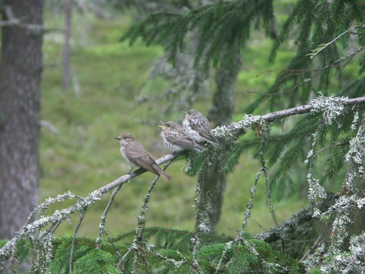 Tre små fåglar på en gren. Jag är lycklig över att jag faktiskt fångat dem på bild.