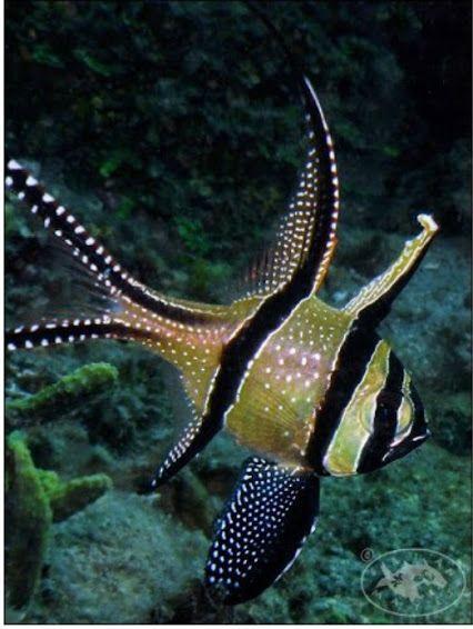banggai cardinalfish - photo #5