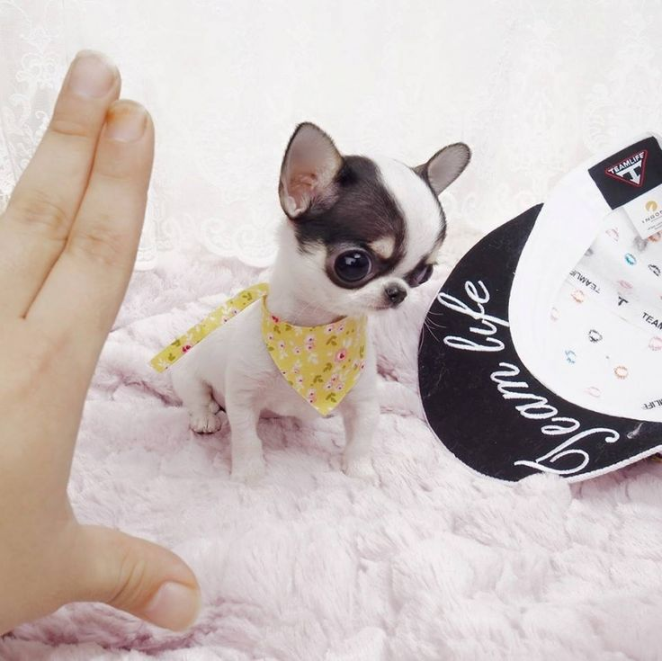 Micro Teacup Chihuahua Puppies – Jerusalem House