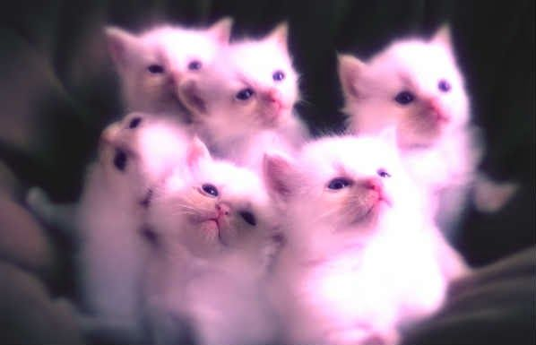 cute kittens :)  cats funny / cats and kittens / cat pictures / cute animals / kittens / kitty / kittens funny / ragdoll cat / ragdoll kitten
