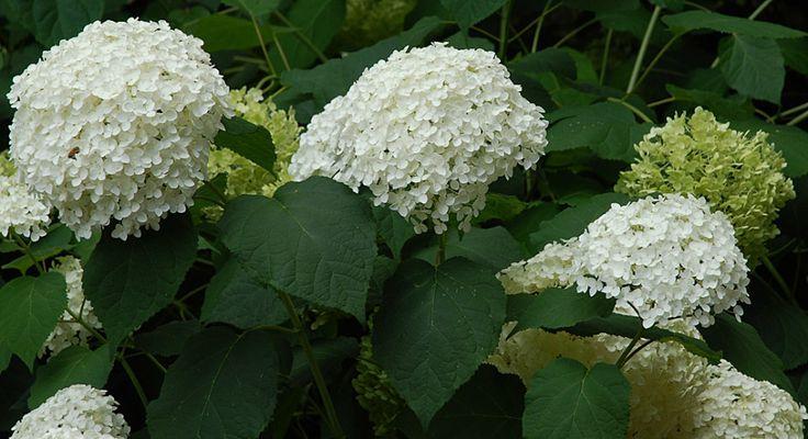 annabelle hydrangea arborescens