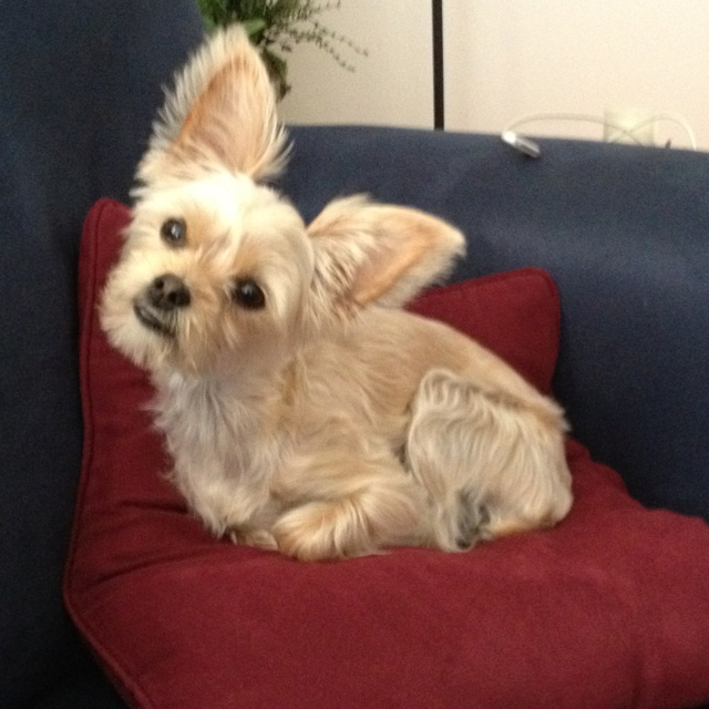 55 Couch Potato Recipes: 1000+ Images About Chorkie Puppy On Pinterest