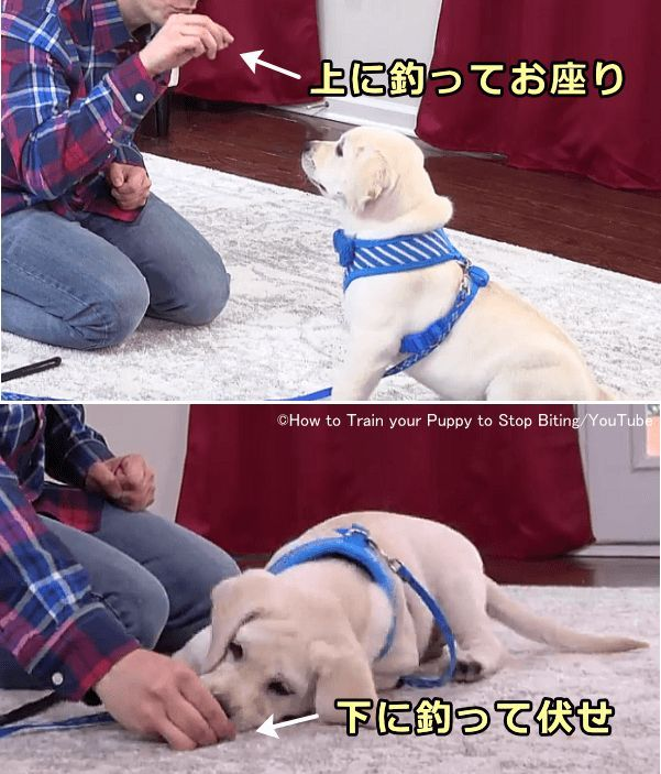 犬の噛み癖をしつけ直す 物や人の手を噛む理由と効果的にやめさせる方法 子犬のへや 子犬 しつけ 犬のしつけ 子犬