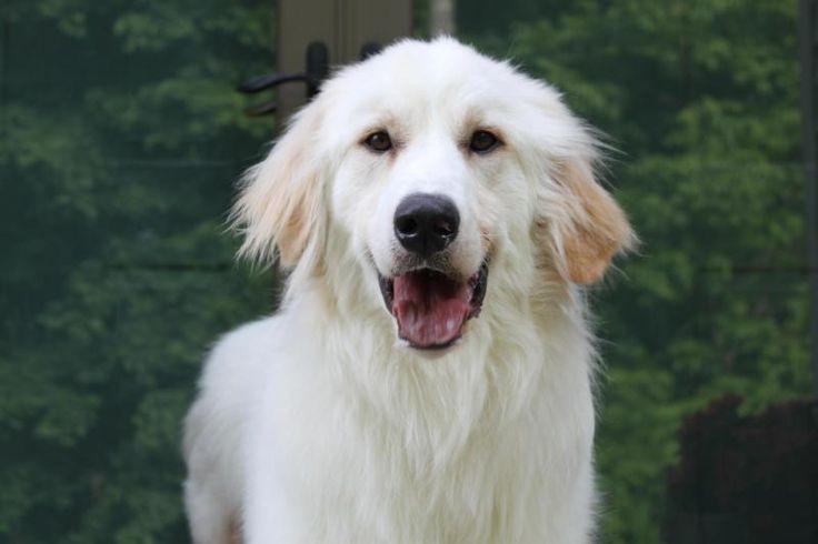 Adopt orin on petfinder big fluffy dog rescue great