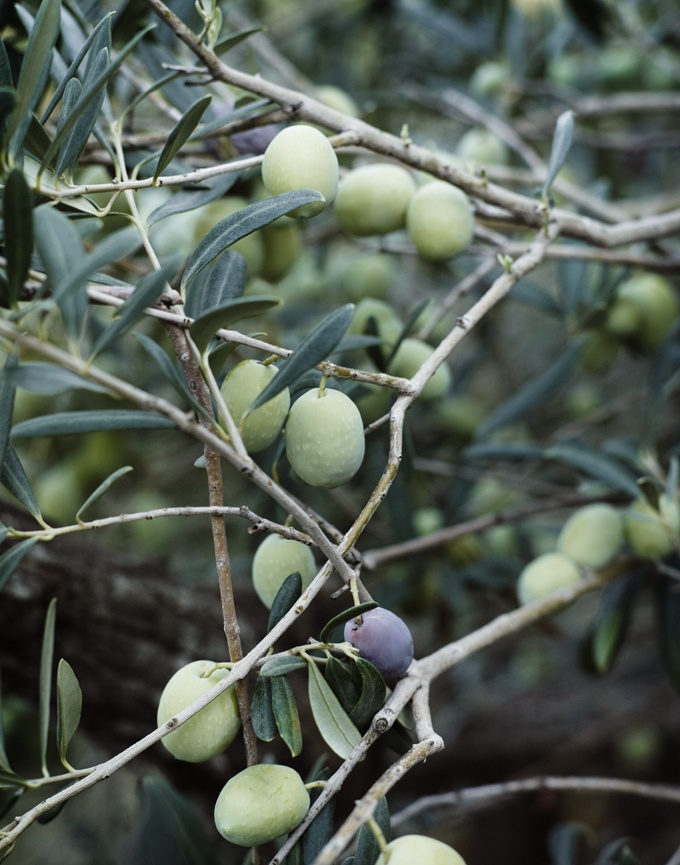 Olives in Pantelleria