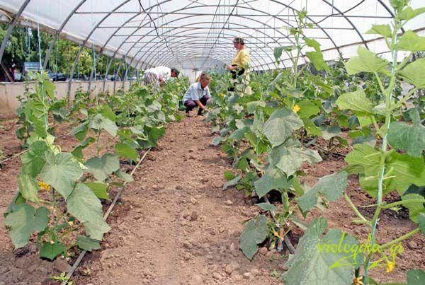 100% βιολογική καλλιέργεια σε θερμοκήπιο
