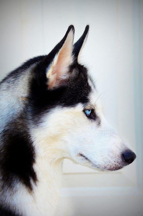 i miss you husky - photo #4