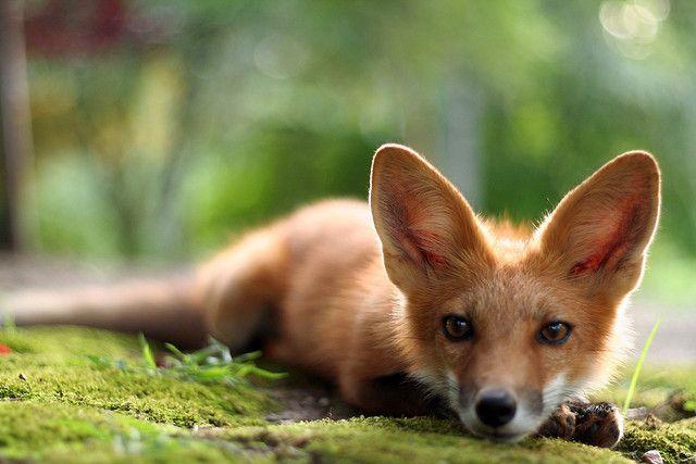 the sweetest little fox cub