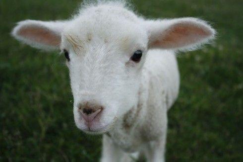 Incredibly cute lamb from Juniper Moon Farm