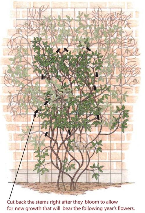 Find out exactly when and how to prune your Clematis here, http://www.finegardening.com/how-to/articles/clematis-pruning-guide.aspx