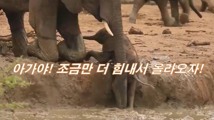 아기 코끼리가 올라오지 못하자! 애간장이 타는 엄마 코끼리 Mother to go with baby elephant