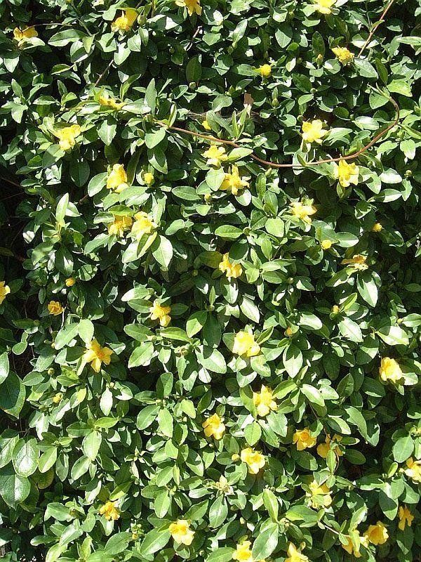 Hibbertia scandens ground cover to central steel planters- Flowering in spring and summer