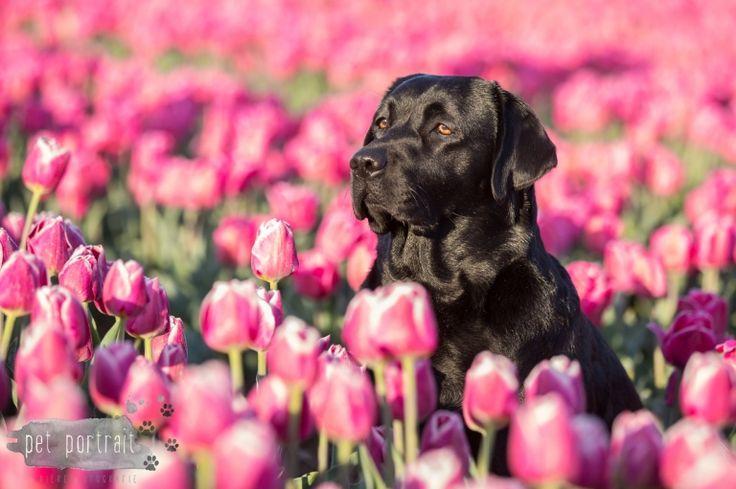 Hondenfotograaf Hillegom - Labradors tussen de tulpen-13