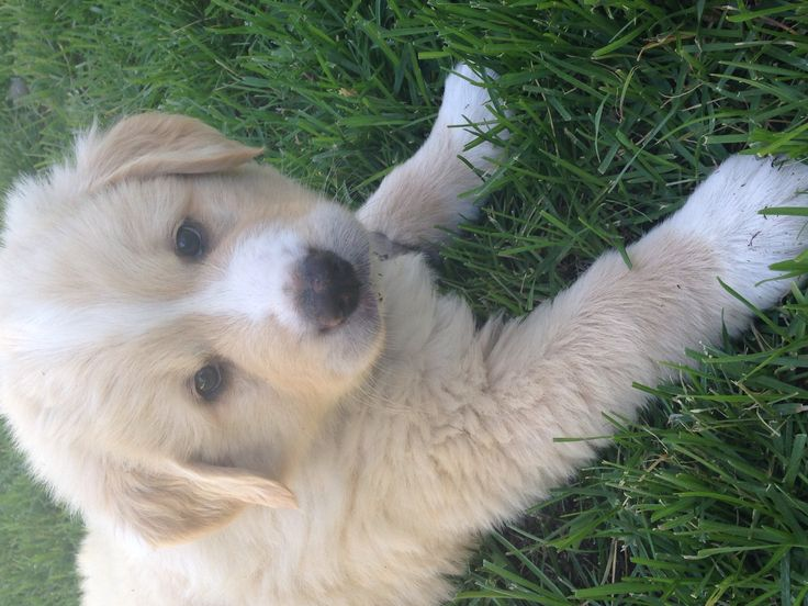 17 Best ideas about Lab Mix Puppies on Pinterest ...