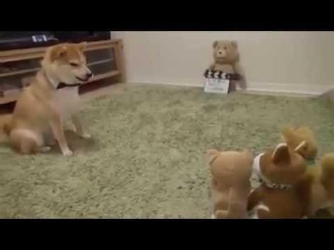 Shiba vs toy