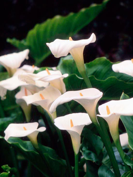 Few bulbs are as elegant as calla (Zantedeschia). The gorgeous blooms appear in a wide range of shades including white, pink, red, orange, yellow, and deep burgundy. Most varieties have great foliage, too: The arrowhead-shaped leaves are often dotted in white. Most varieties grow about a foot tall. How to Grow Them: Callas like a spot in full sun or part shade and moist soil. They're frost tender, so in areas that experience freezing temperatures treat them like an annual or dig and store…