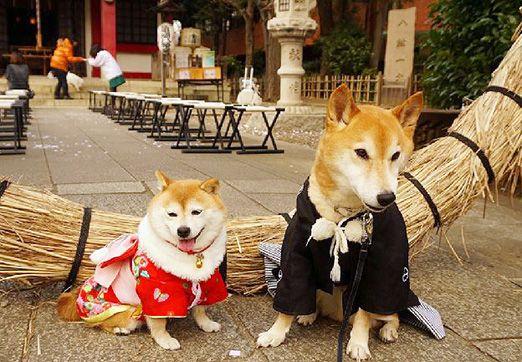 ファッションショー「近づくとやけどするわよ♥ 柴犬こむぎの小悪魔日記」