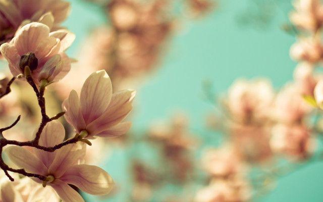 Tapety Na Pulpit Floral Wallpaper Desktop Magnolia Flower Flowers