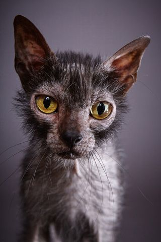 Love for Lykois: Werewolf Cats Are Real, and They Are Amazing. But Are ... #catmeow - Catsincare.com!