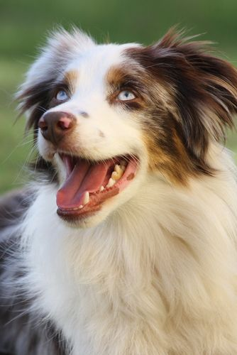 Australian Shepherd ~T~ this has a description of the breed and gives history and background.If you do not know about this breed and are thinking of getting one please read this first. We have Aussies and they are wonderful dogs, but they are not for people who are not wanting a very smart and active dog.